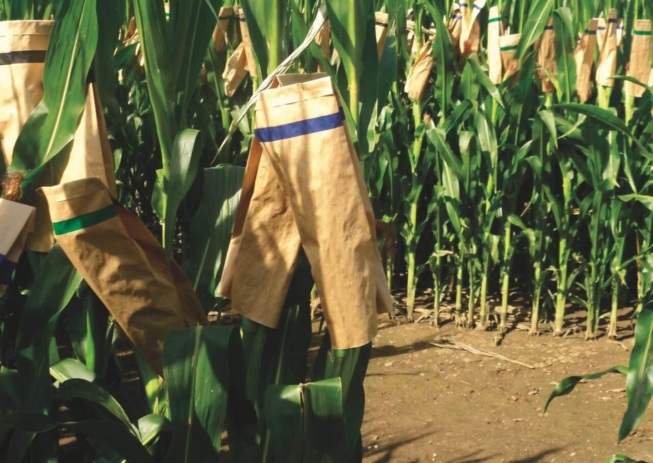 Graines de maïs - tentatives de reproduction